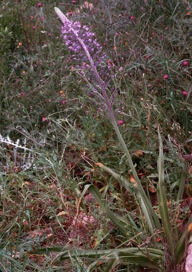 Scilla hyacinthoides?