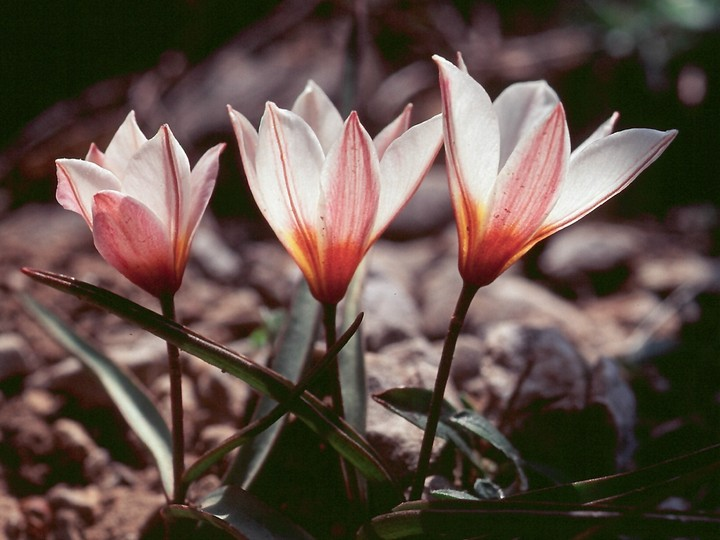 Tulipa cretica