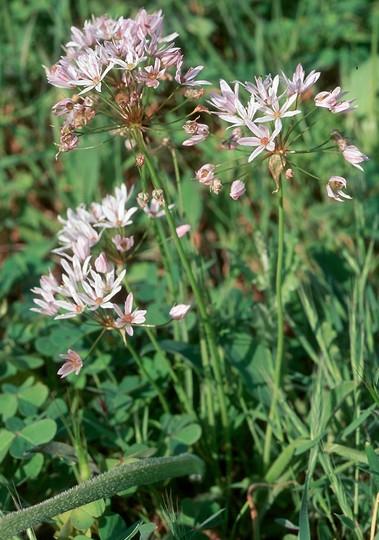 Allium trifoliatum