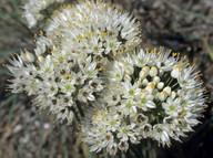 Allium subvillosum