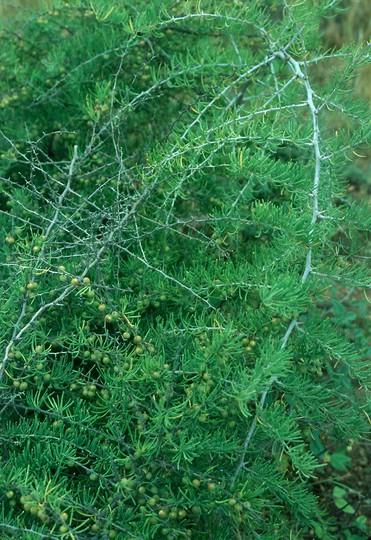 Asparagus pastorianus