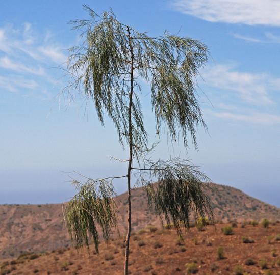 Asparagus plocamoides