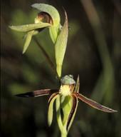 Lyperanthus serratus