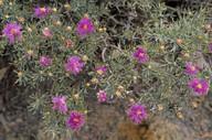 Melaleuca scabra