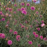Melaleuca nematophylla