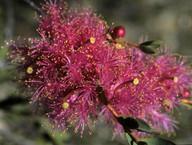 Melaleuca sp.?fulgens