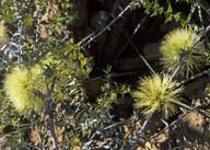 Melaleuca cardiophylla