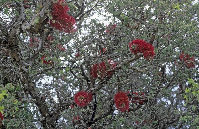 Melaleuca elliptica