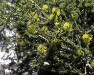 Melaleuca blaerifolia