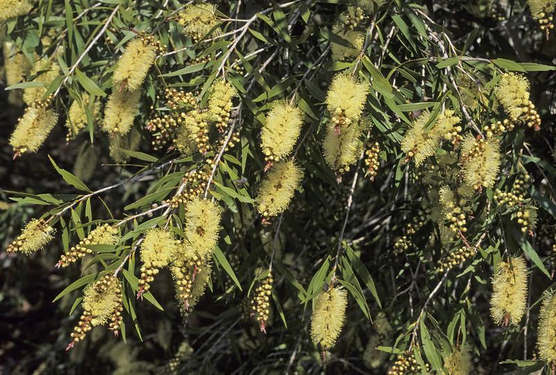 Melaleuca sp.1