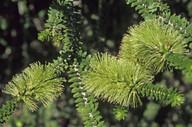 Melaleuca sp.?diosmifolia