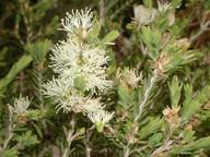 Melaleuca halmaturorum