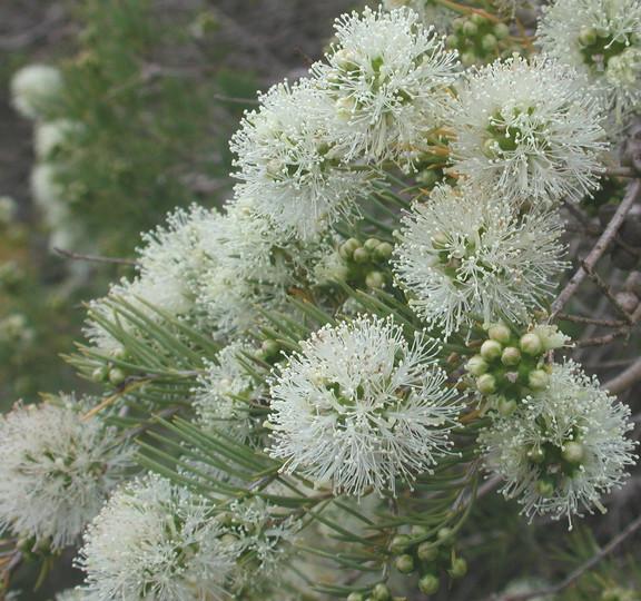 Melaleuca sp.3
