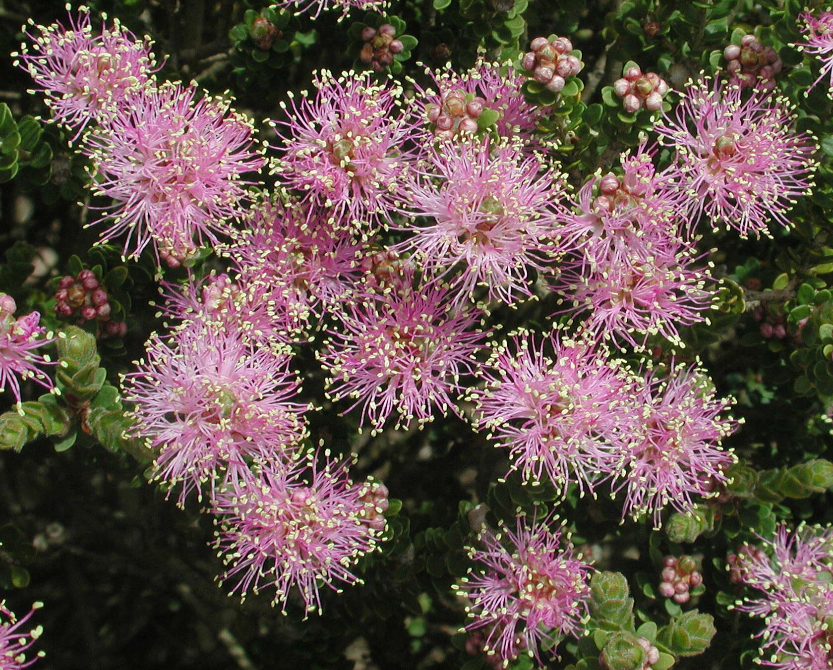 Melaleuca sp.4