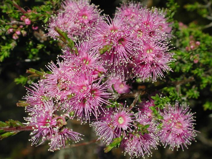 Melaleuca sp.5