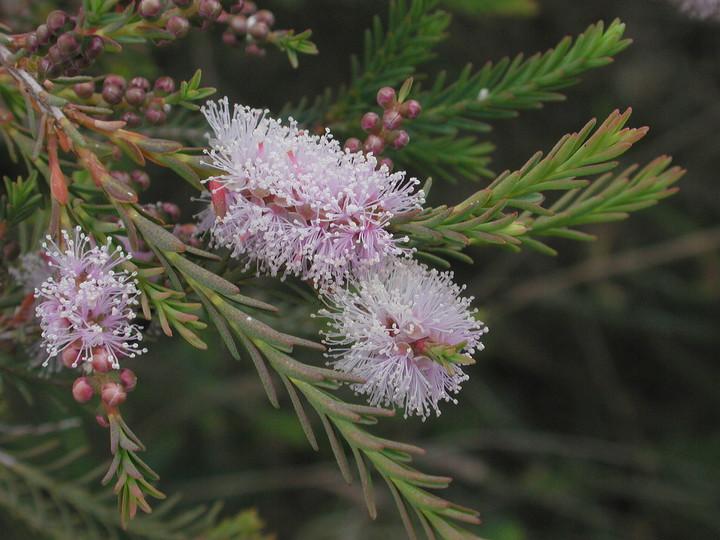 Melaleuca sp.6
