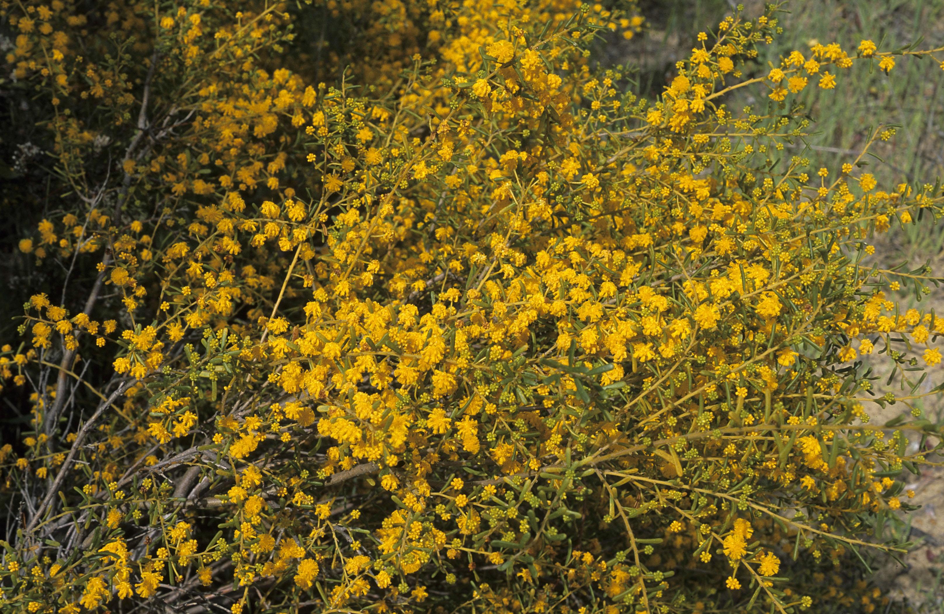 Acacia spathulifolia