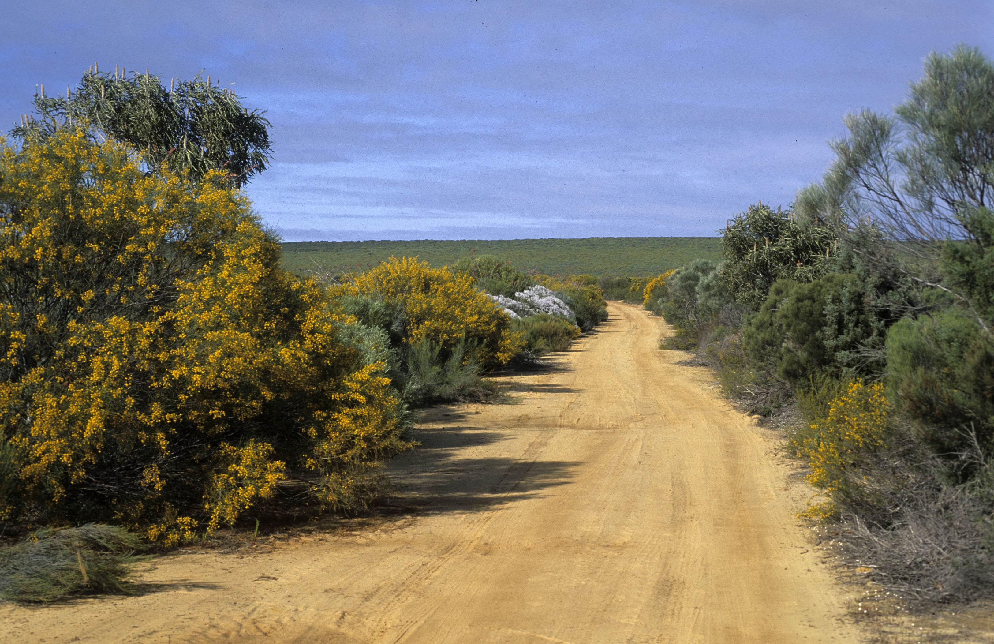 Acacia scirpifolia