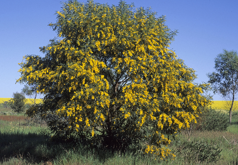Acacia sp.1