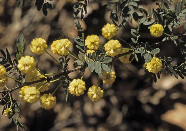 Acacia pulchella