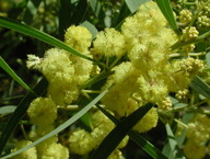 Acacia retinodes