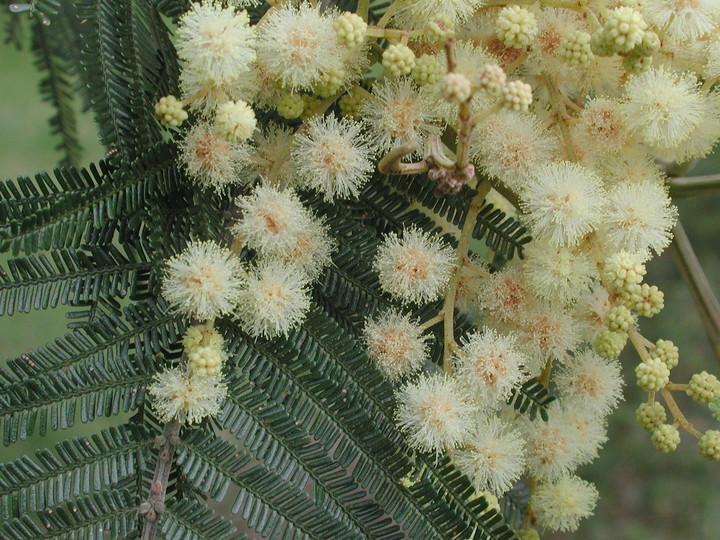 Acacia sp.2