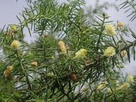 Acacia sp.3