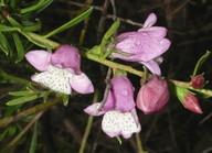 Eremophila divaricata