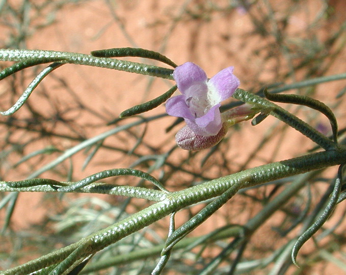 Eremophila scoparia