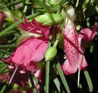 Eremophila alternifolia