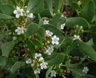 Myoporum insulare