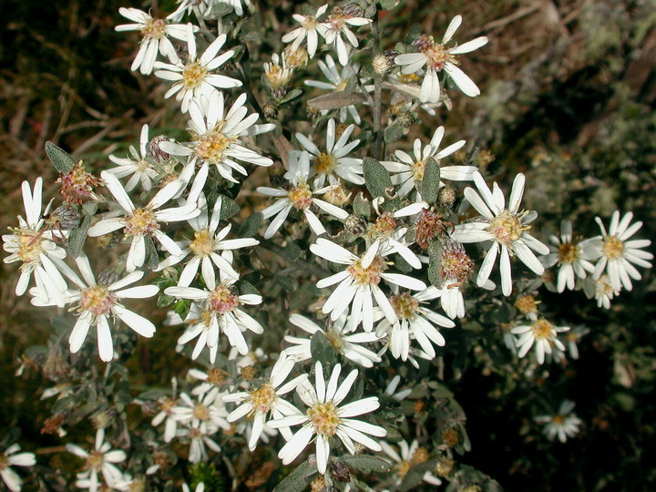 Olearia sp.