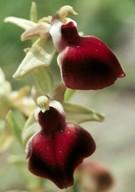 Ophrys helenae