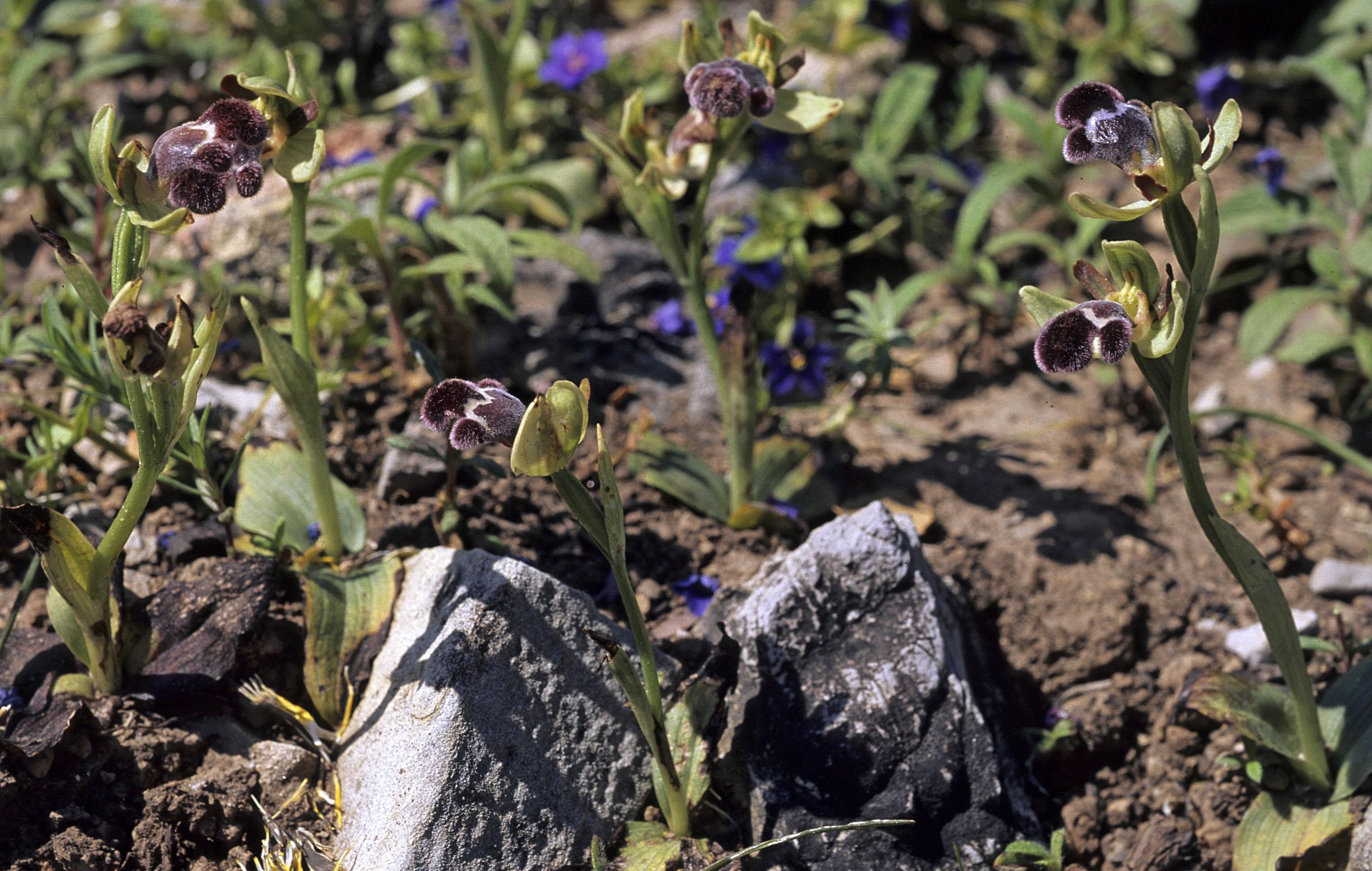 Ophrys fleischmannii
