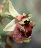 Ophrys levantina