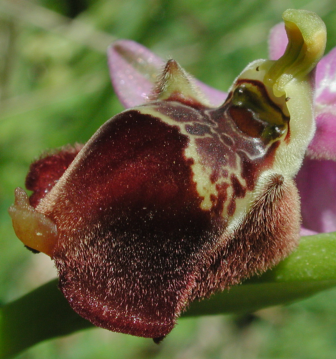 Ophrys candica x episcopalis?