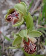 Ophrys umbilicata
