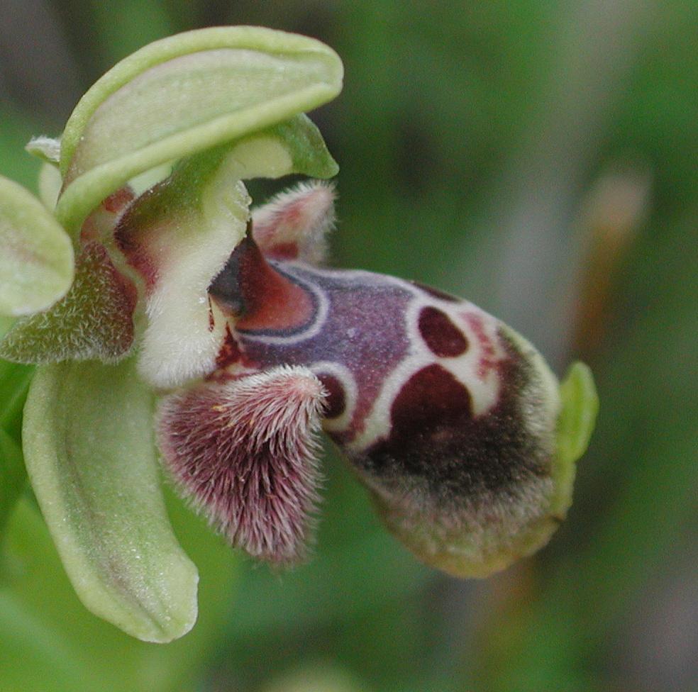 Ophrys flavomarginata