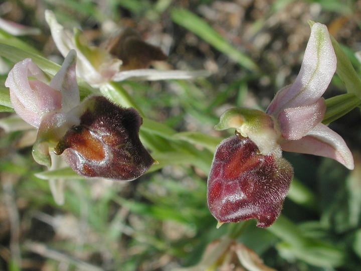 Ophrys elegans