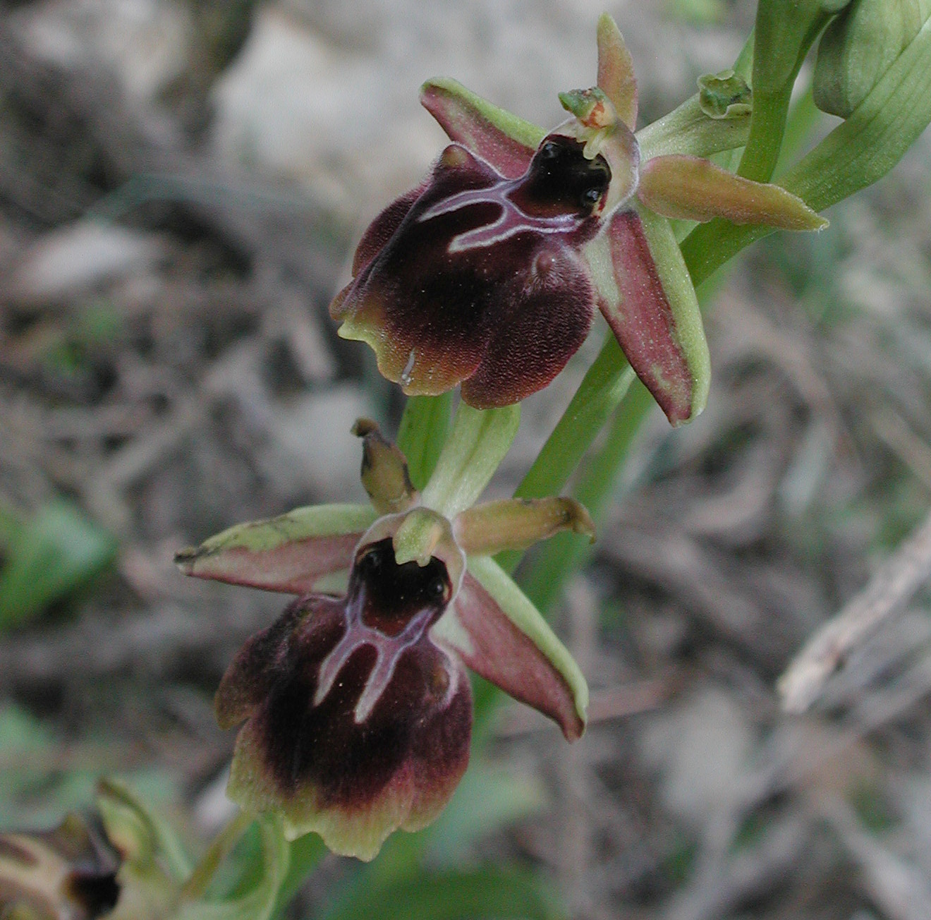 Ophrys aesculapiiformis