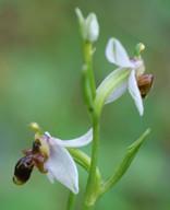 Ophrys heterochila