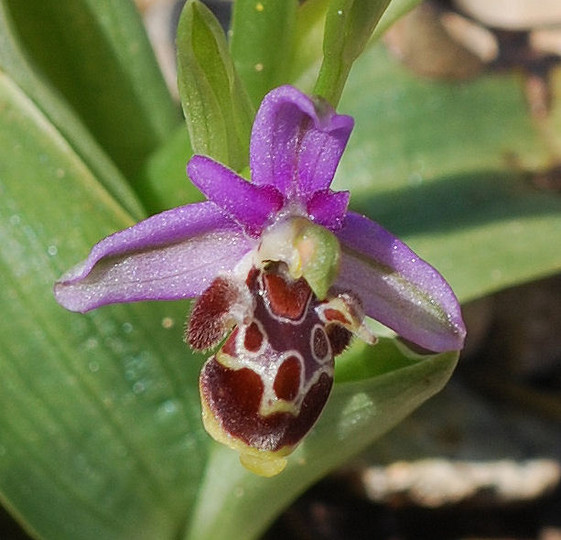 Ophrys cornutula