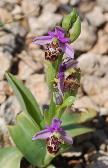 Ophrys cornutula