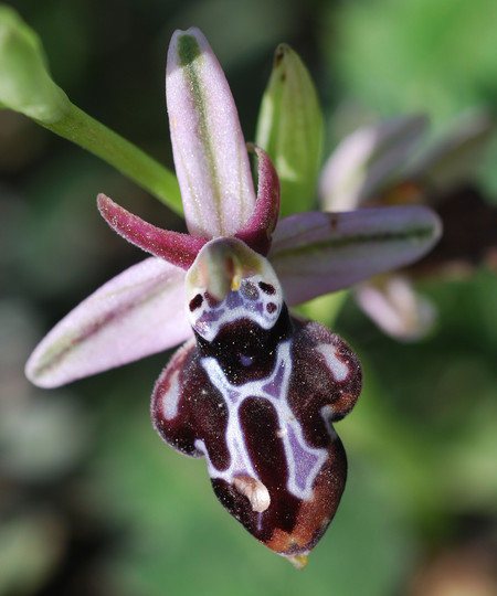 Ophrys cretica ssp. beloniae
