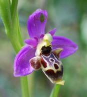 Ophrys polyxo