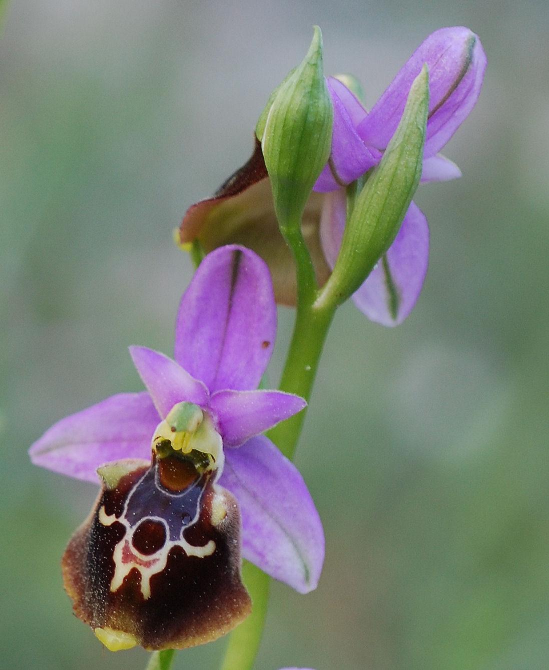 Ophrys colossaea
