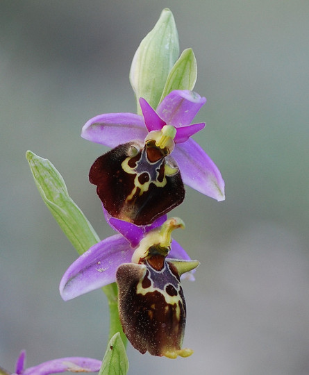 Ophrys colossaea