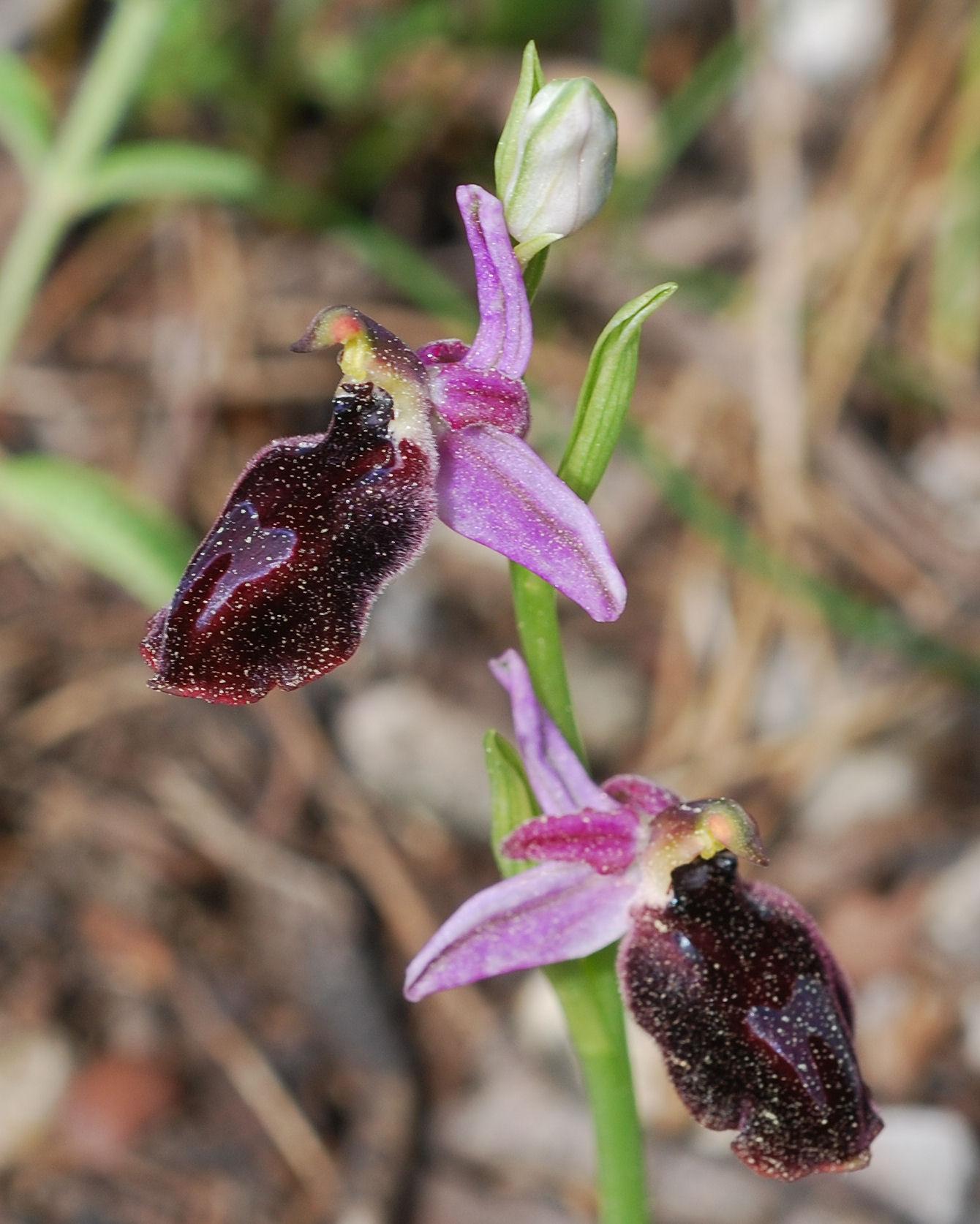 Ophrys ferrum-equinum