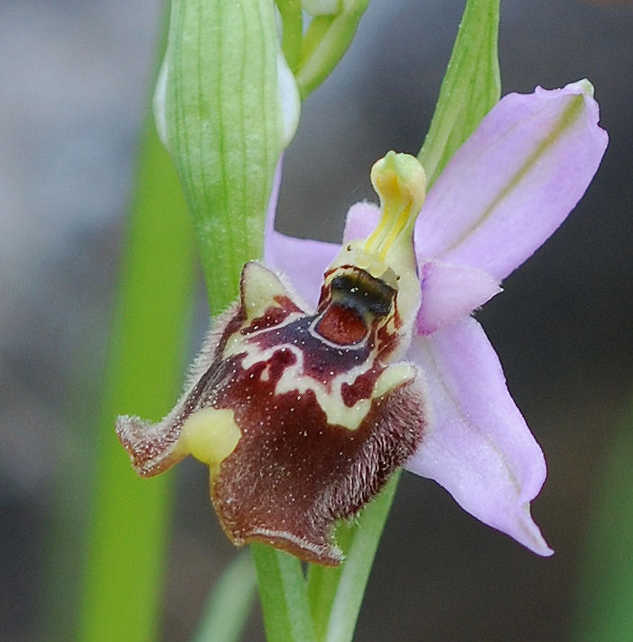 Ophrys candica