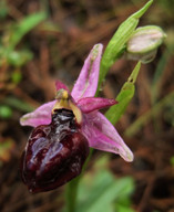 Ophrys lucis